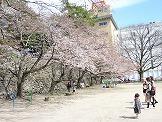 三重県津市の桜開花情報