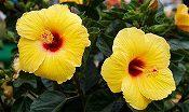 黄色のハイビスカス