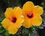 橙色のハイビスカス