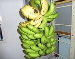 農園で収穫したバナナ